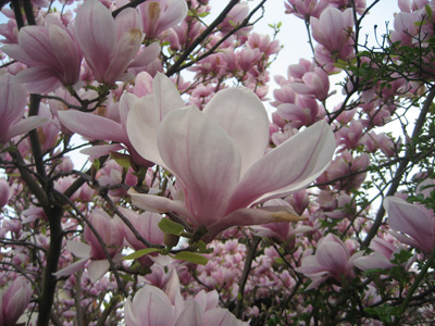 A Magnolia blooming in Paris in the spring