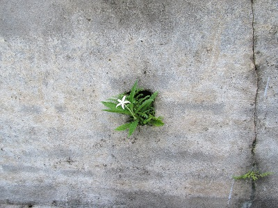 A flower in the wall
