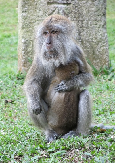 A monkey in the Penang Botanic Gardens