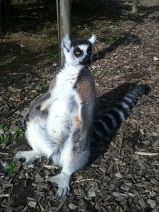 A sunbathing lemur at the Zoo de Champrepus