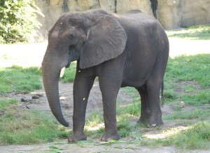 An elephant at Disney's Animal Kingdom