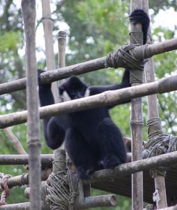 A monkey at Disney's Animal Kingdom