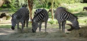 Three zebras at Disney's Animal Kingdom