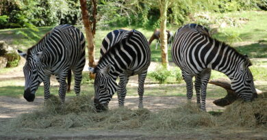 Three zebras at Disney's Animal Kingdom