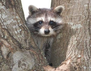 Raccoon cub in a tree