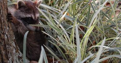 Raccoon cub on the ground